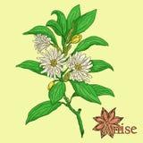 anís Ejemplo de una planta en un vector con la especia para el uso adentro libre illustration