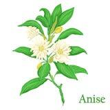 anís Ejemplo de una planta en un vector con la flor para el uso i Fotografía de archivo libre de regalías