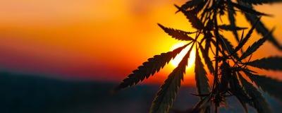 Anúncio publicitário do cannabis para crescer Conceito da medicina alternativa erval, óleo de CBD imagem de stock