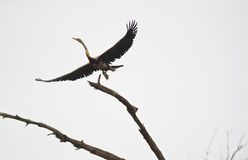 An African Darter Taking Off Stock Photo