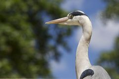 An African Grey Heron Profile Royalty Free Stock Photo