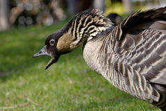 Free An Angry Goose Is On The Loose Royalty Free Stock Photos - 15981758