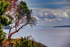 Free An Arbutus Tree In The Gulf Islands With A BC Ferry In The Distant Background Royalty Free Stock Image - 162017876