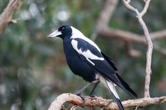 Free An Australian Magpie, Gymnorhina Tibicen, Sitting On The Branches Of Tree. Australia Stock Photos - 139608313