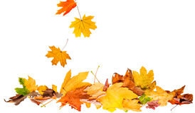 Free An Autumn Leaves Isolated Royalty Free Stock Photos - 77240838