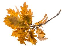 An Autumnal Oak Branch Stock Images
