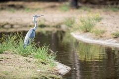 Free An Heron In The Field Royalty Free Stock Photos - 122771098