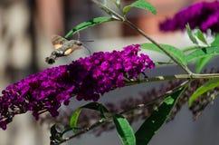 Free An Hummingbird Hawk-moth Feeding Nectar From Buddleia Flower. Closeup Of Macroglossum Stellatarum Stock Photo - 154723040
