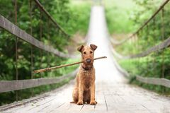 Free An Irish Terrier Sits On A Bridge And Holds A Stick Stock Photography - 203266272