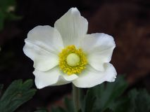 Free An Isolated Blooming Wood Anemone, Anemone Nemorosa On Blurred Dark Background. Beautiful Summer White Park Garden Flower. Royalty Free Stock Photo - 166790305