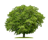 An Isolated Walnut Tree Stock Image