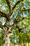 An Old Birch Tree With Long Branches In Spring Time. Royalty Free Stock Images