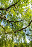 An Old Birch Tree With Long Branches In Spring Time. Royalty Free Stock Photography
