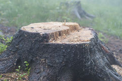 An Old Stump In The Forest Stock Photos