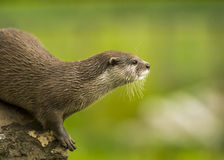 An Oriental Small-clawed Otter / Aonyx Cinerea / Asian Small-clawed Otter Royalty Free Stock Photography