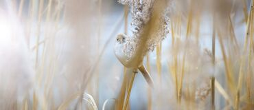 Free An Small Birds In Germany Hidden Between  White Feather Pampas Grass. Royalty Free Stock Images - 213229979