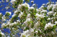 Anacacho storczykowi okwitnięcia, San Antonio ogród botaniczny obraz royalty free
