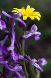 Anacamptis Morio,Endemic Mesiterranean Orchis Flowers and wiild yellow daisy from Sardinia Isle Stock Image