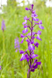 Anacamptis Palustris Palustris Stock Photography