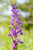 Anacamptis Palustris Palustris Royalty Free Stock Photos