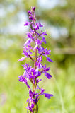 Anacamptis Palustris Palustris Royalty Free Stock Photo