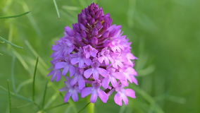 Anacamptis pyramidalis. The pyramidal orchid in a wild field in spring