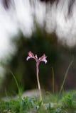 Anacamptispapilionacea op een zwarte backround wordt geïsoleerd die Stock Afbeeldingen