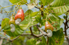 Anacardi che crescono su un albero Immagini Stock Libere da Diritti