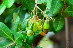 Anacardi organici Immagini Stock