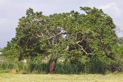 Anacardio africano Immagini Stock Libere da Diritti