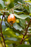 Anacardio che cresce sull'albero Immagine Stock Libera da Diritti
