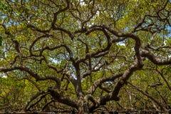Anacardio del ` s del mondo più grande - Pirangi, Rio Grande do Norte, Brasile Fotografie Stock Libere da Diritti