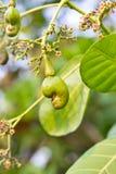 Anacardio sull'albero Immagini Stock