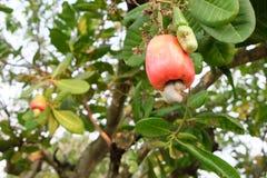 Anacardio sull'albero Fotografia Stock