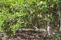 Anacardium occidentale oder Acajounussbaum Stockfoto