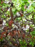 Anacardiumoccidentale, abstrakt naturbakgrund, filialer av ett tropiskt träd Fotografering för Bildbyråer