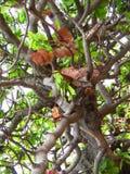 Anacardiumoccidentaleträd, abstrakt naturbakgrund, filialer av ett tropiskt träd Royaltyfria Foton