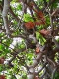Anacardiumoccidentaleträd, abstrakt naturbakgrund, filialer av ett tropiskt träd Royaltyfri Bild