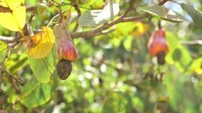 Anacardo del árbol de nuez que crece Nuts Busuanga, Palawan, Filipinas almacen de metraje de vídeo