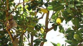 Anacardo del árbol de nuez que crece Nuts Busuanga, Palawan, Filipinas almacen de video