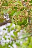 Anacardo joven en árbol Fotografía de archivo