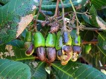 Anacardos en árbol Imagen de archivo libre de regalías
