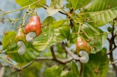 Anacardos que crecen en un árbol Imágenes de archivo libres de regalías