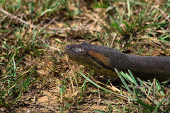 Anaconda's head in the grass hissing. And sticking tongue out Royalty Free Stock Photos