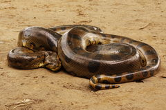 Anaconda stockbilder