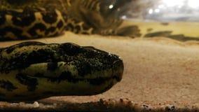 Anaconda amarilla enorme en un acuario almacen de metraje de vídeo