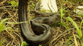 Anaconda Baby in the Amazon Rainforest, Bolivia. Anaconda Baby in the Amazon Rainforest stock photo