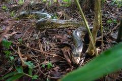 Anaconda Royalty Free Stock Photography