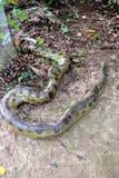 Anaconda Royalty Free Stock Photos