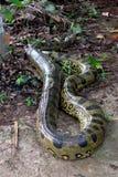 Anaconda Stock Image